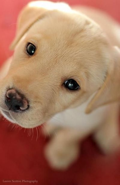 Labradors.com Member photo #puppy #cute adorable yellow Lab