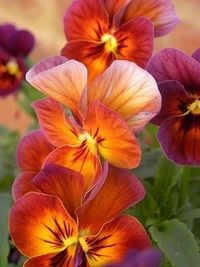 Sunset Summer Embers (pansies), Wisconsin Rapids, Wisconsin. photo via joinsey