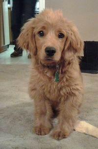 I need this dog!! golden cocker retriever full grown. It's a puppy that looks like a puppy forever.