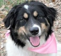 Chloe Great Pyrenees/Australian Shepherd Mix: An adoptable dog in Portland, OR