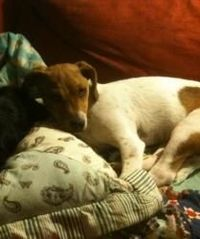 Mercy is an 8 month old mostly Jack puppy from eastern Washington.