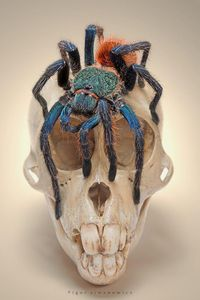 "�œ� Chromatopelma cyaneopubescens - from the ""spiders and dead things"" series... :: By Igor Siwanowicz �œ�"