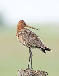 the black-tailed godwit - limosa limosa, is a large, long-legged, long-billed shorebird. its breeding range stretches from iceland through europe and areas of central asia. from emuwren
