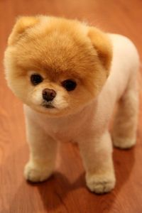 teddy bear pomeranian... i can't get over these guys