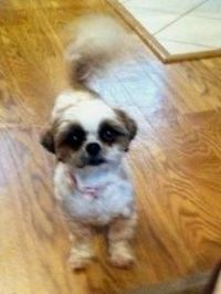 Suzie is an adoptable Shih Tzu Dog in Philadelphia, PA. Meet our most adorable little girl Suzie.  Her, along with her sister Princess were turned into our Rescue by their owners.  Suzie is a sweet, l...