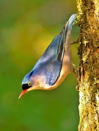 velvet-fronted nuthatch (photo by Subramanniyan Mani)