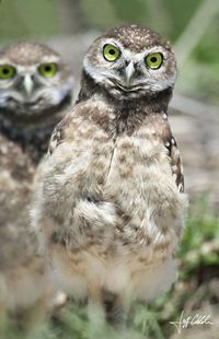 The Weebles (Burrowing Owls)