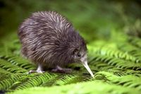 The Kiwi - these birds are a protected species and can only be found in certain areas of NZ.