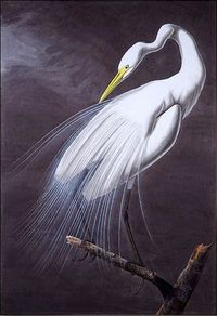Great Egret, John James Audubon (1785-1851)