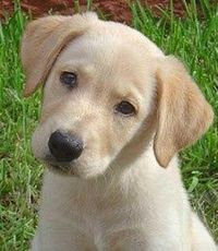 Adorable yellow lab puppy - love the head tilt