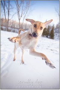 This young, energetic, stunning little hound mix hails from war-torn Afghanistan, and has certainly made the switch from sand to snow with the same glee and exuberance with which she seems tackle everything in life. For being still under a year old, Sheen...