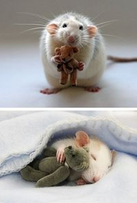 Rats with Teddies, d'awwww! aliciabluejeans