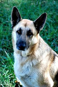 German Shepherd :)